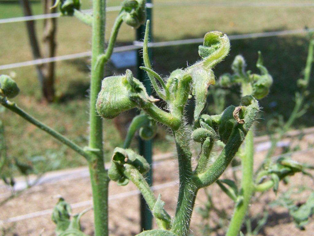 tomato herbicide damage