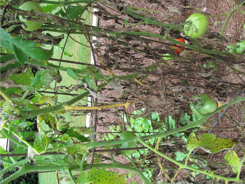 tomato septoria 4