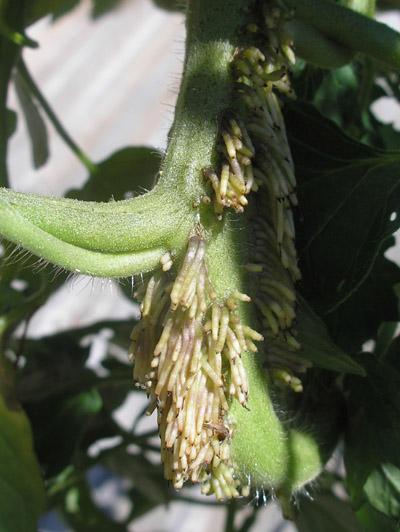 growths on tomato stem