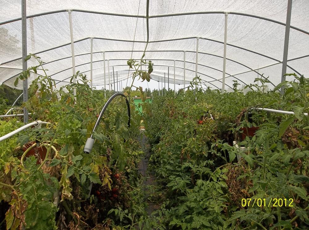 tomatoes 008