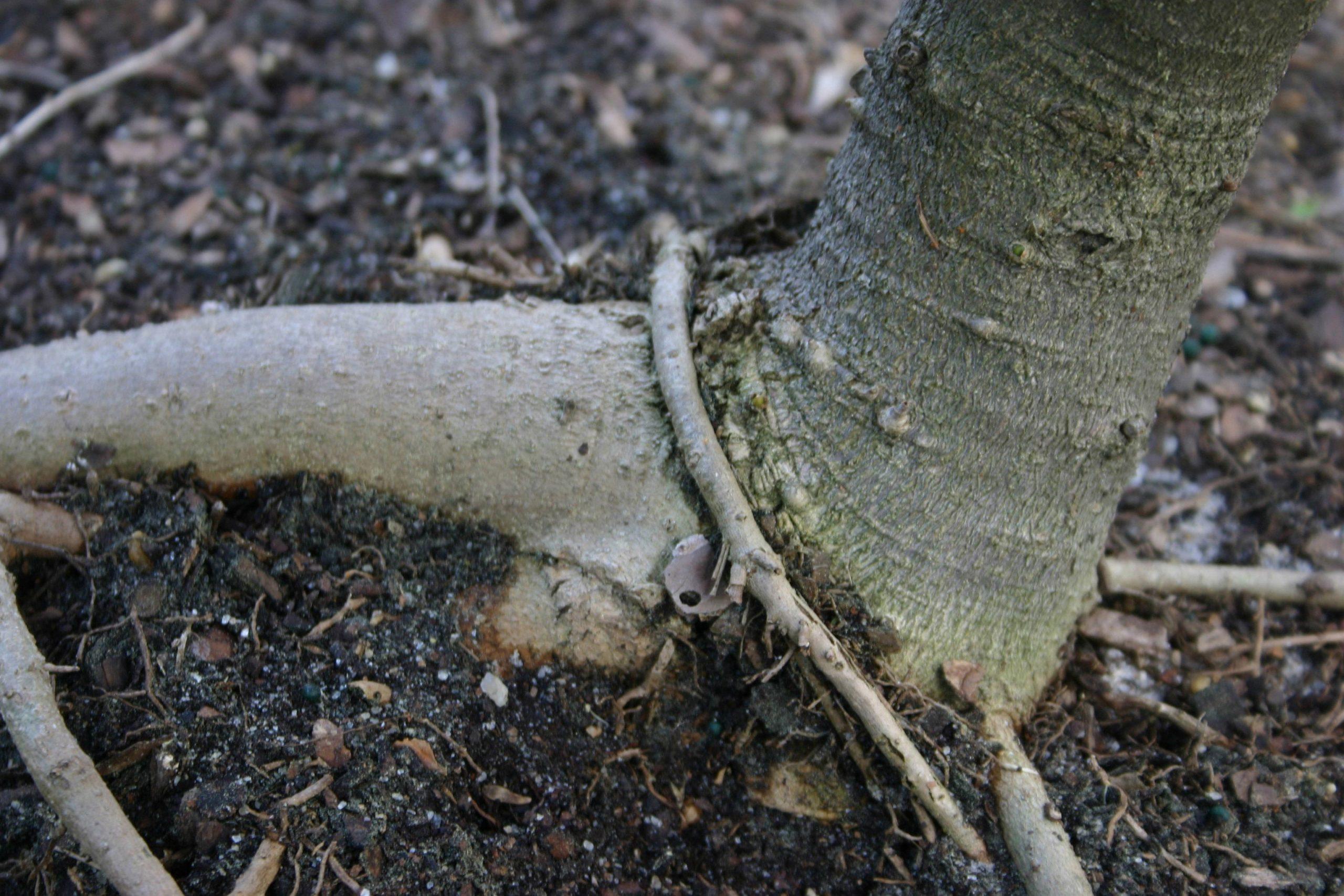 circling root