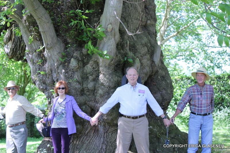 large chestnut in England (photo courtesy of Erica Glasener)
