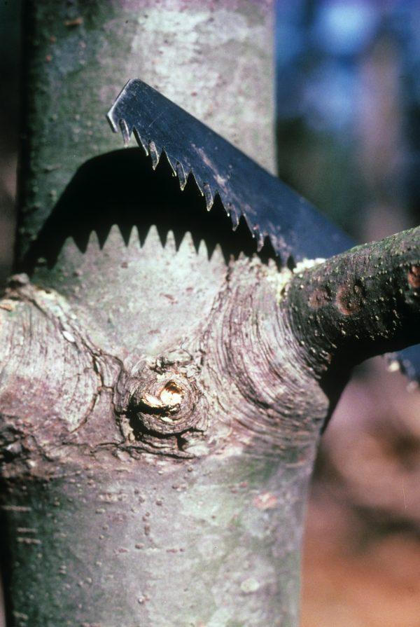 limb pruning at collar area