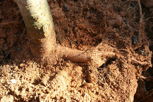 flare root at base of trunk