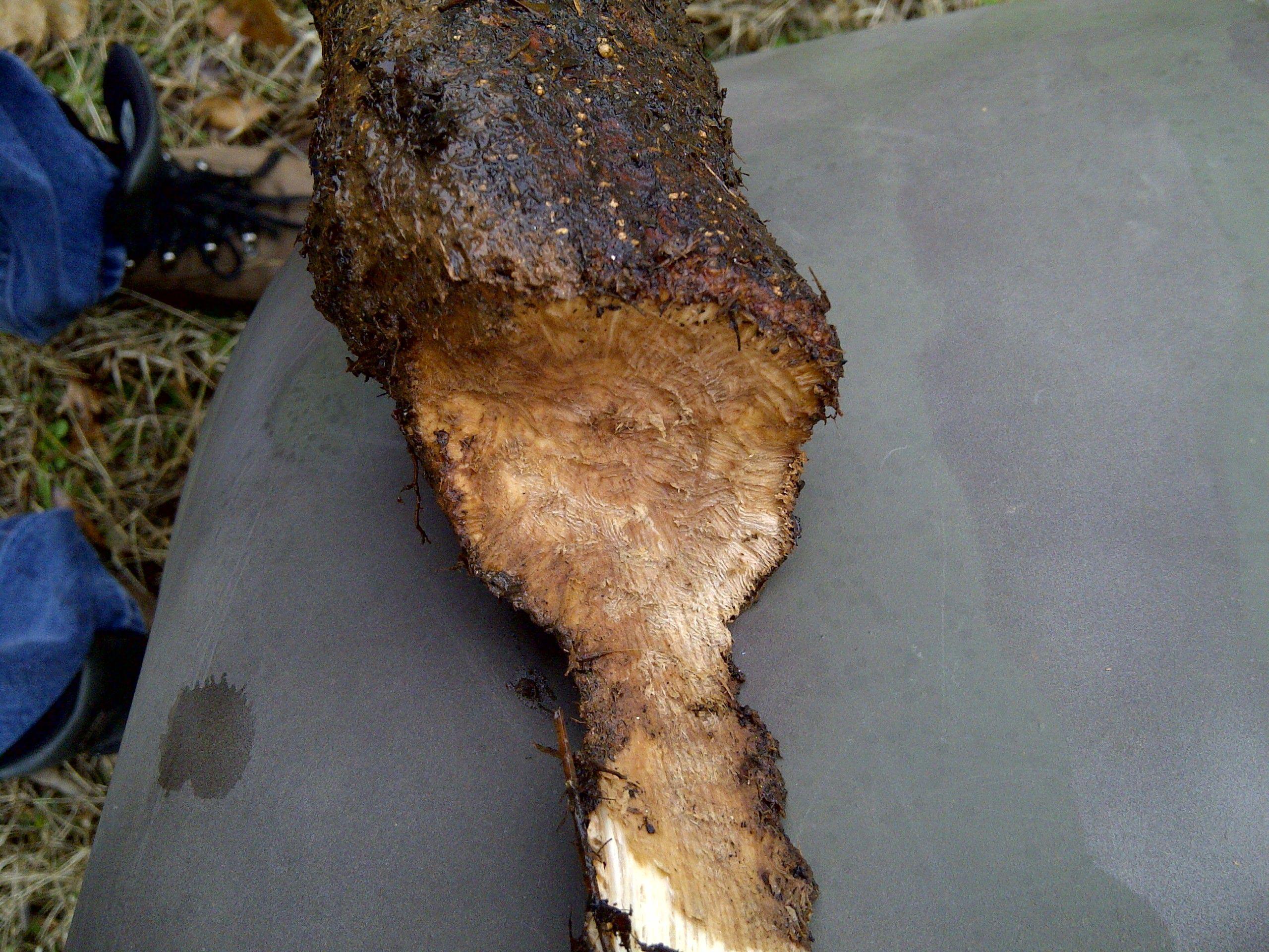 vole damage to oak
