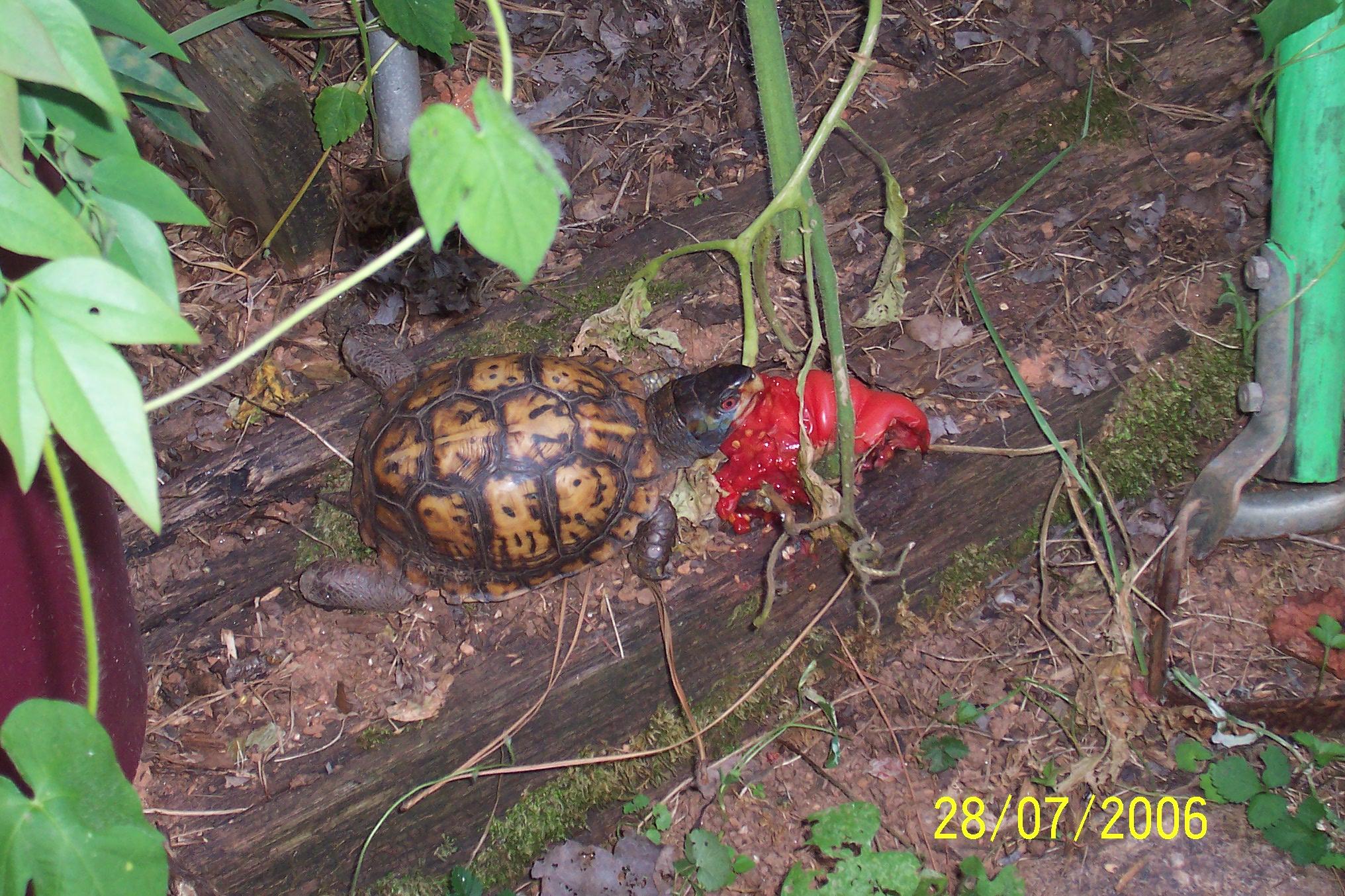 turtle eating tomato 3