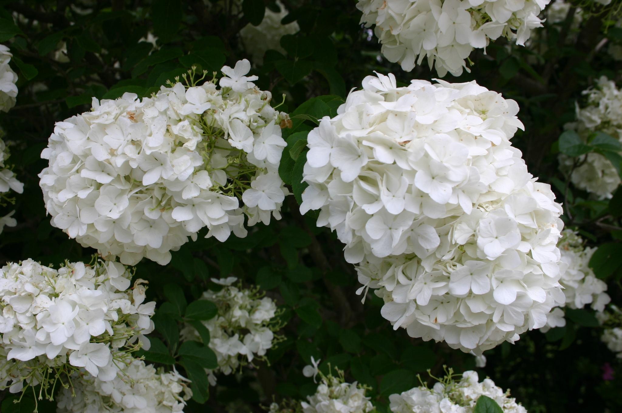 viburnum snowball flower 3