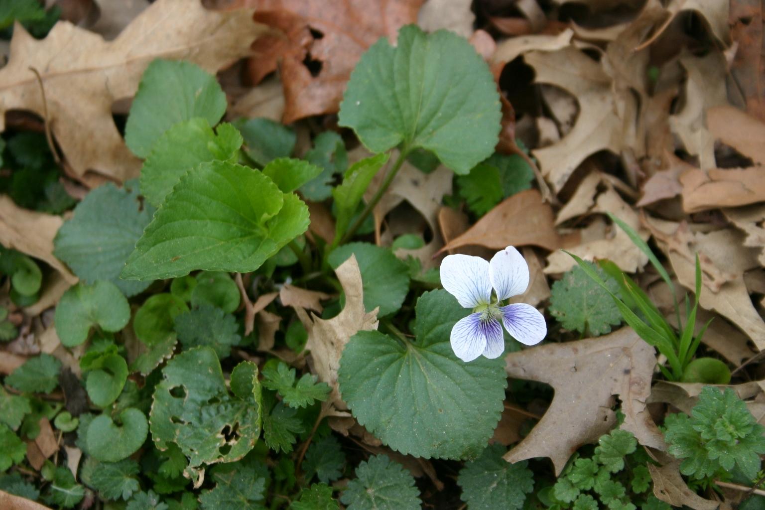 violet 7