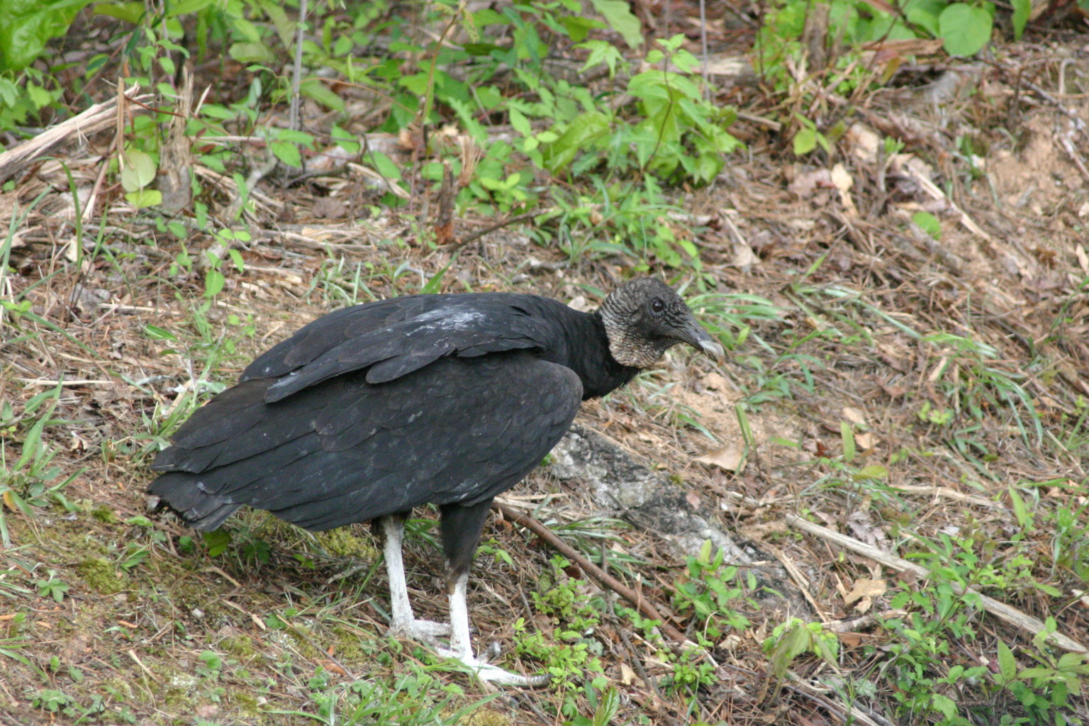 vulture black 2 (2)