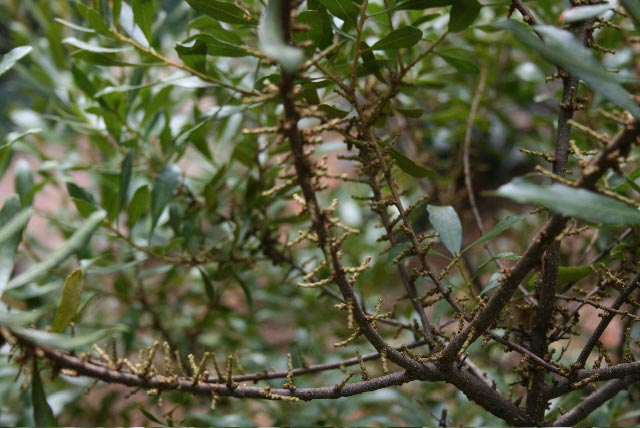 wax myrtle female catkins