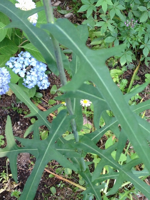 wild lettuce biomom 2 NTP
