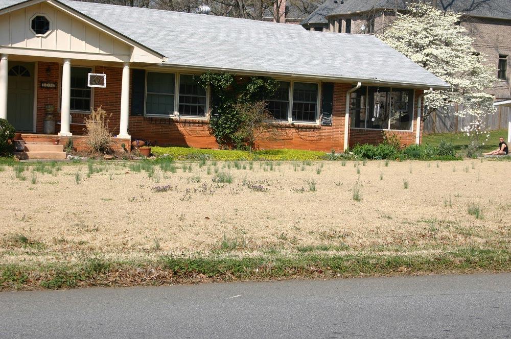 wild onions in lawn 2