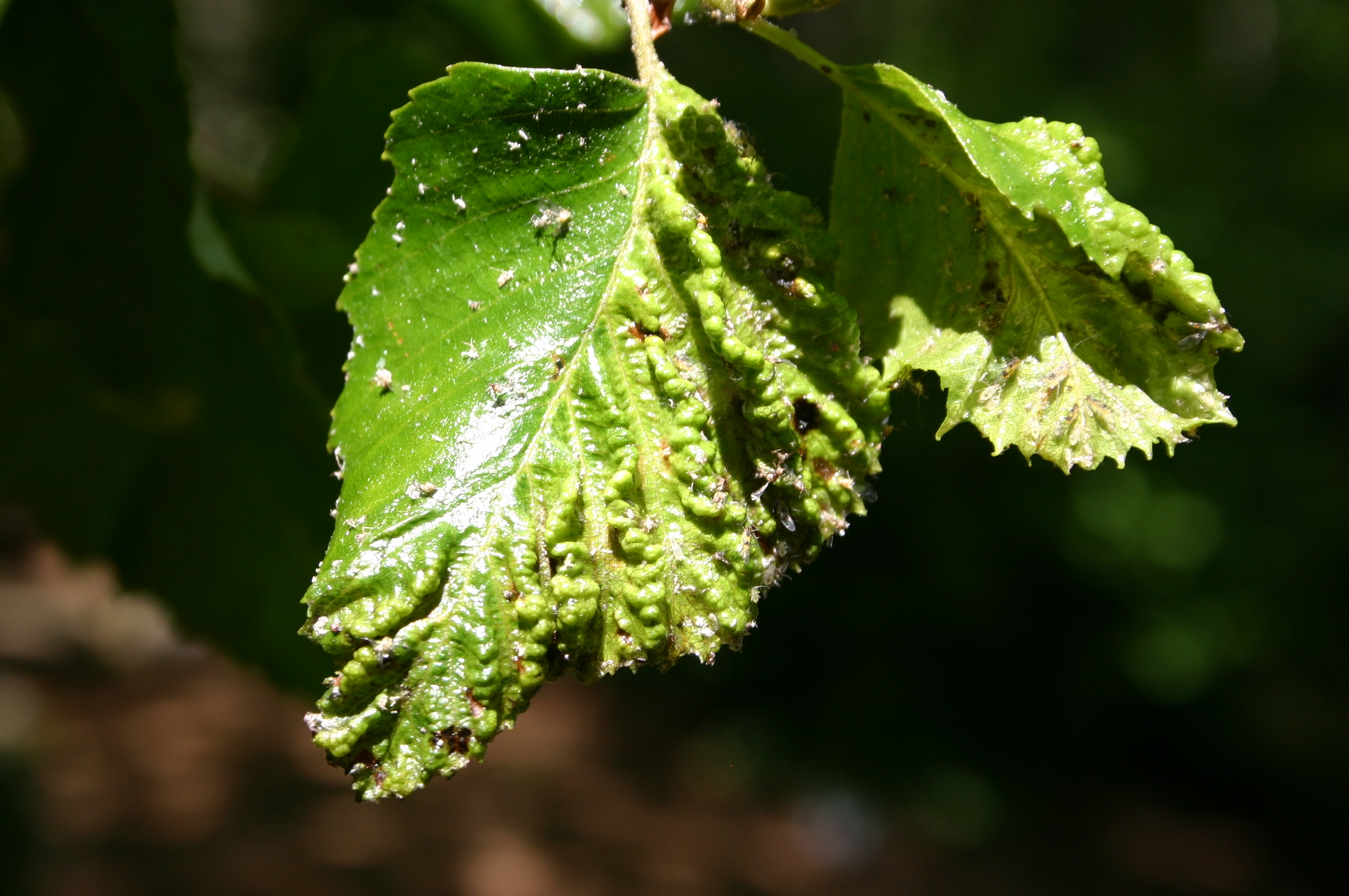 witchhazel gall aphid on birch