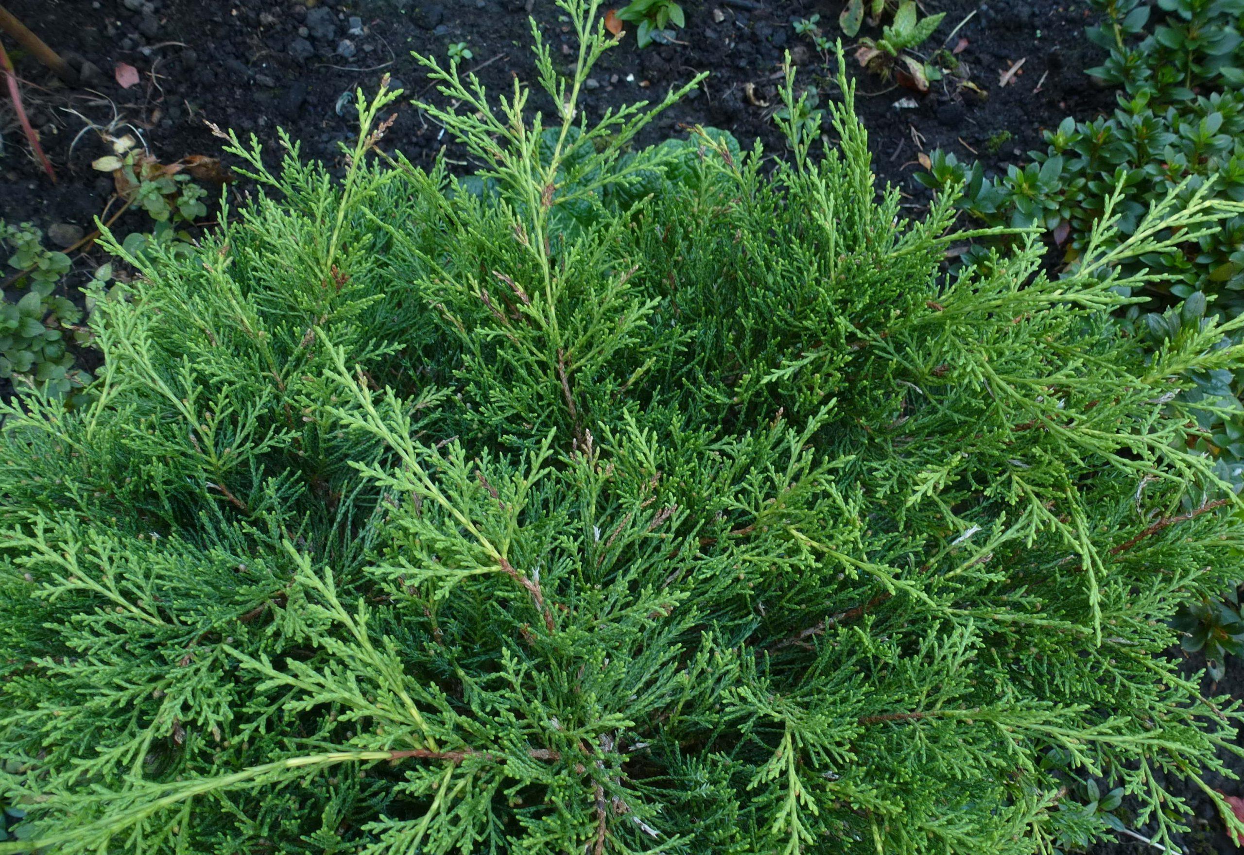 Dwarf Conifers for Atlanta