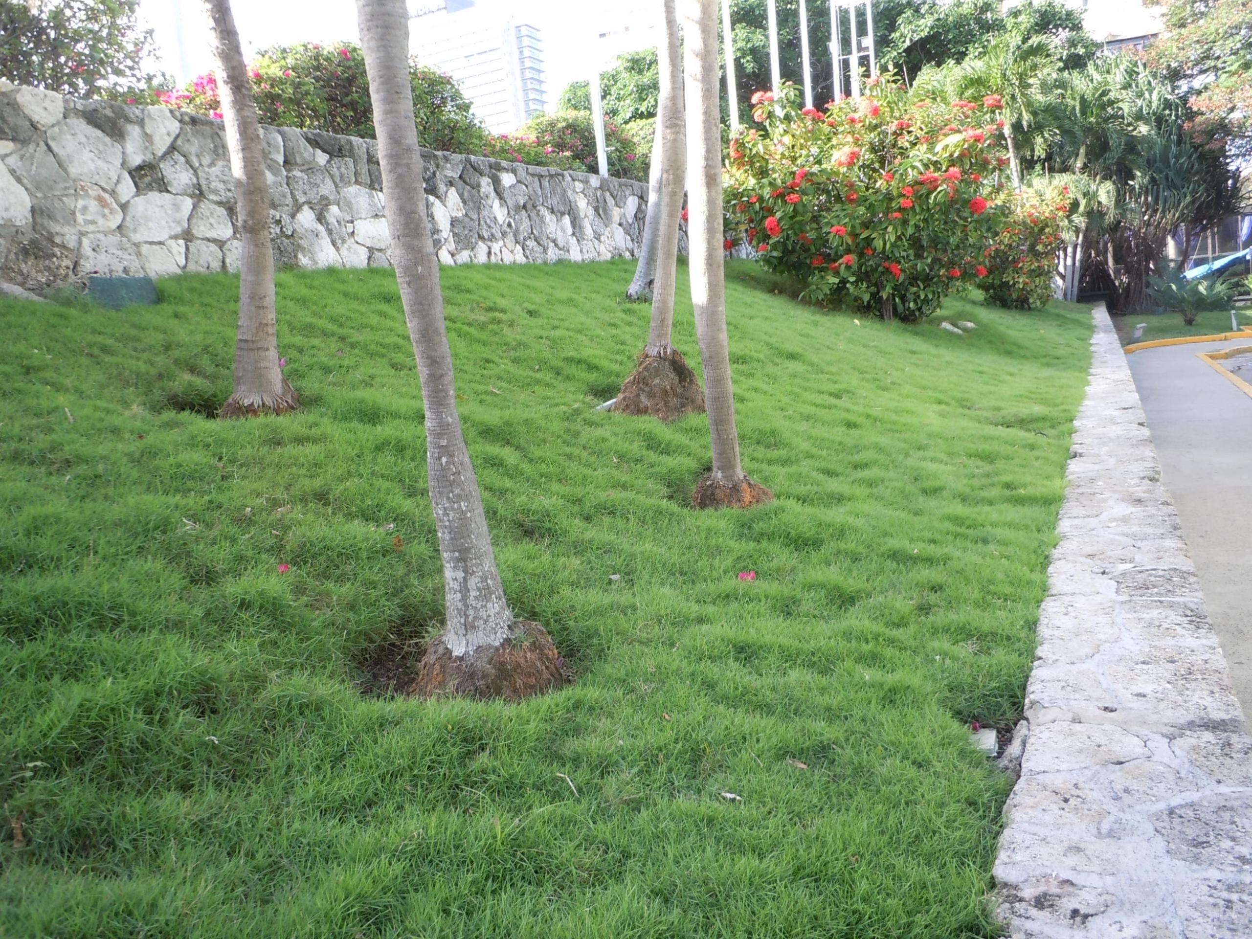 Leveling flat spots in Zoysia lawn