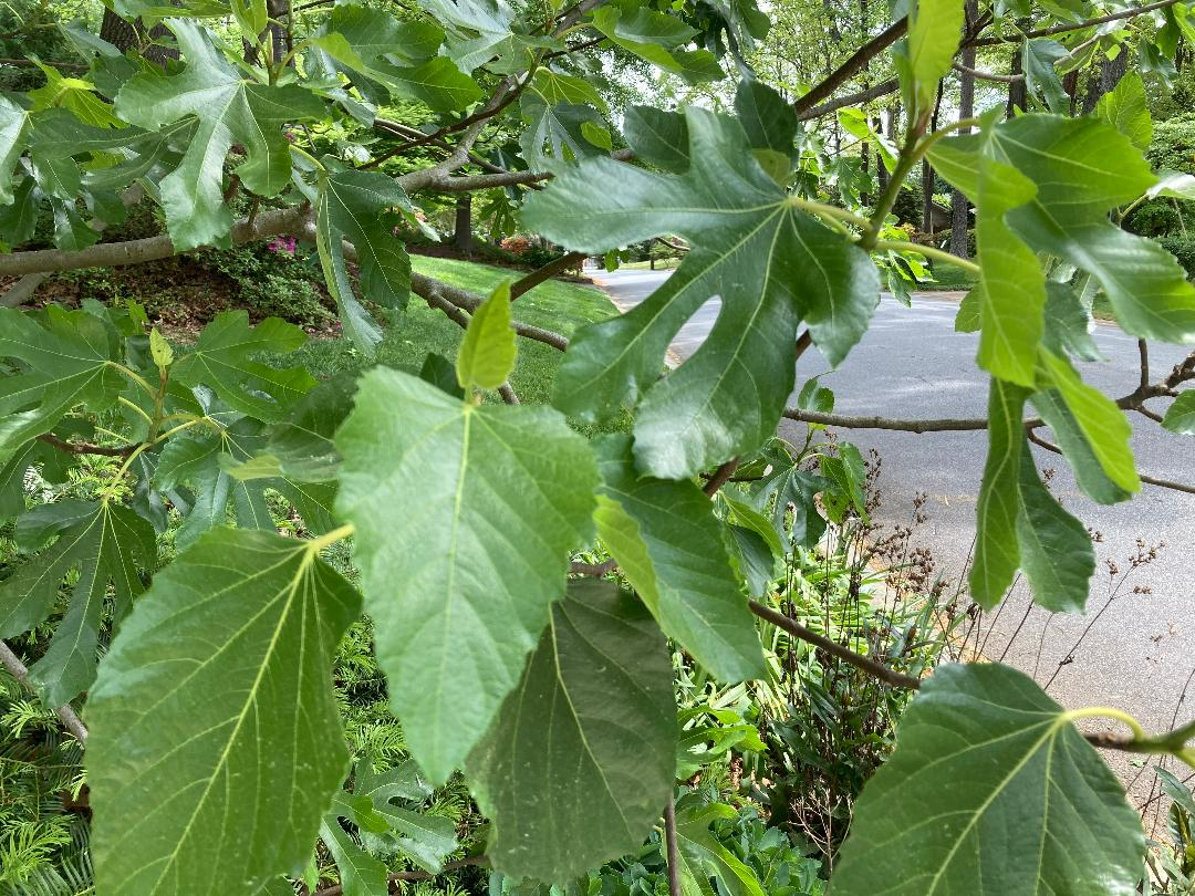 lobed unlobed fig leaves